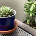 Maceta azul con planta suculenta y con planta palma de fondo